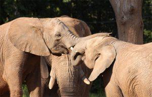 Elephants showing empathy
